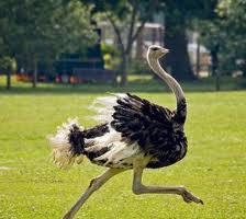 Идея бизнеса - Открытие страусиной фермы.